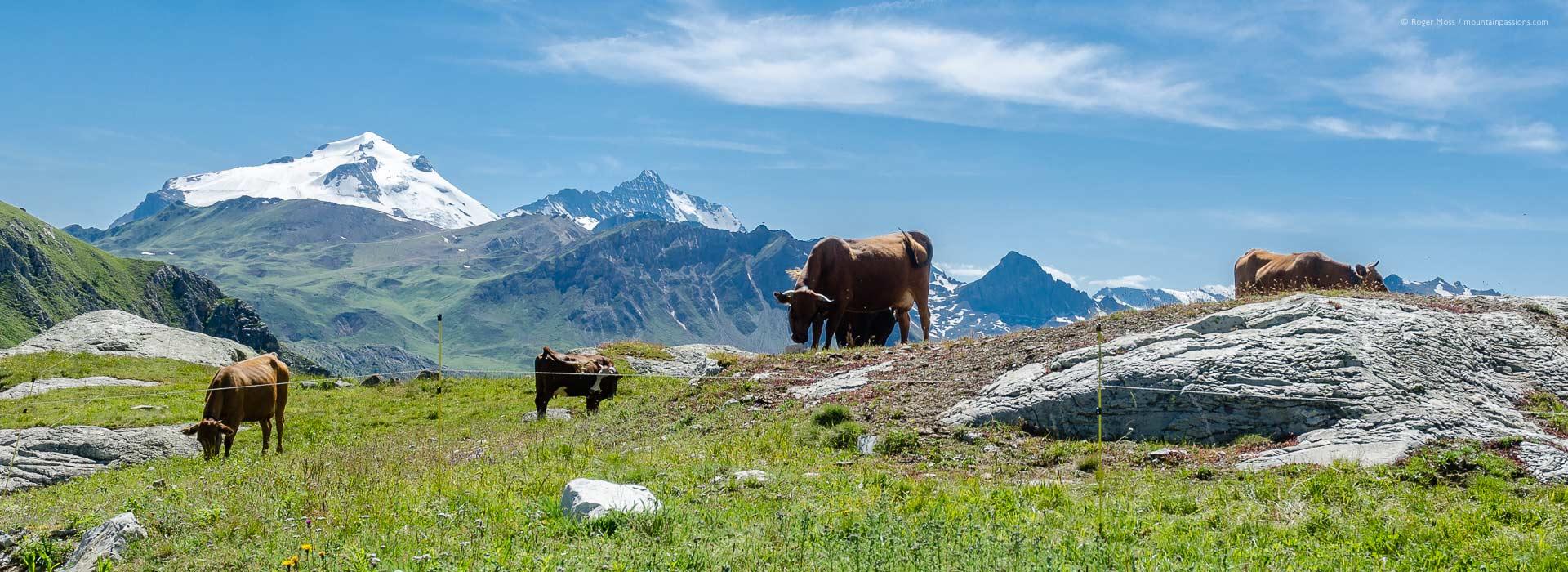 Dairy cattle in high Alpine pastures