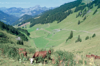 Barbossine valley above Chatel, Abondance cows